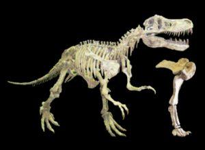 恐竜の骨格と化石の展示
